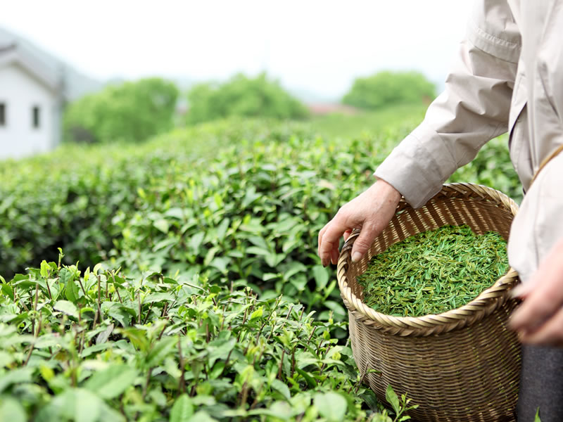 Early History of Tea